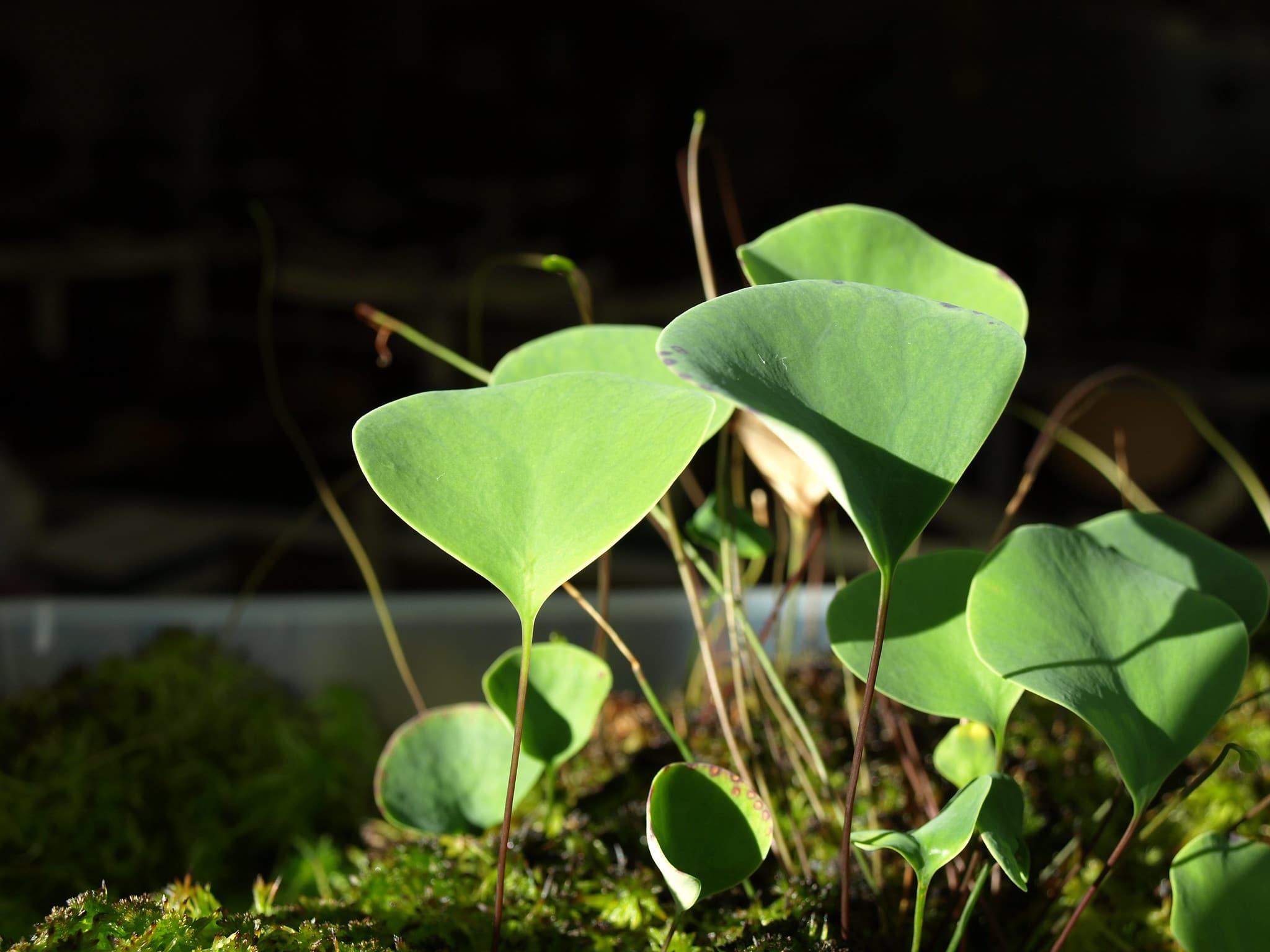 Vista de las hojas de la Utricularia humboldtii