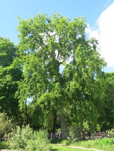Vista del Zelkova carpinifolia