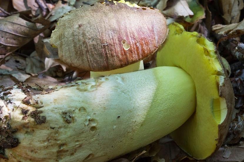 Boletus appendiculatus desarrollado