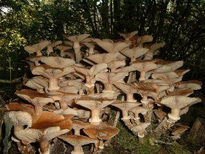Capacidad de la seta de miel para matar árboles