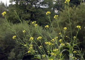 Características de la Brassica nigra
