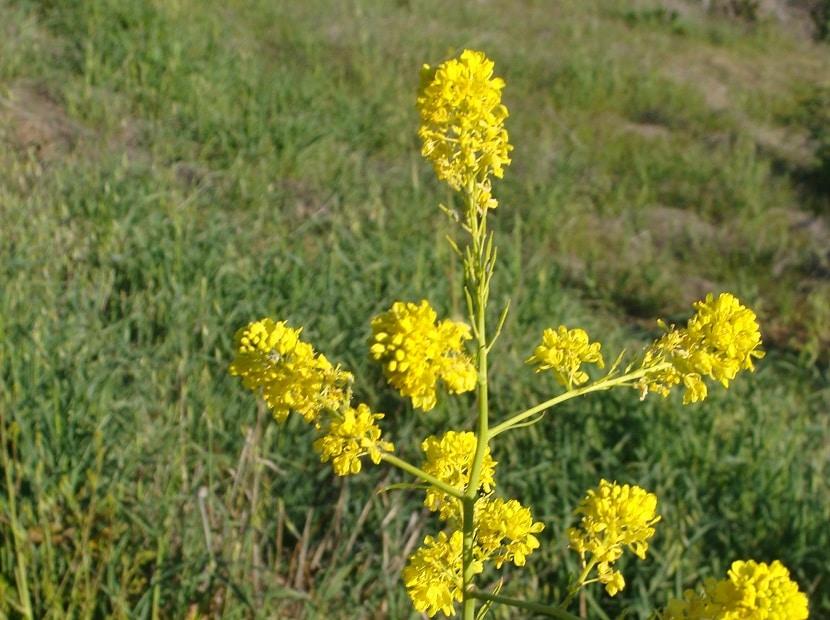 Desarrollo de la Brassica nigra