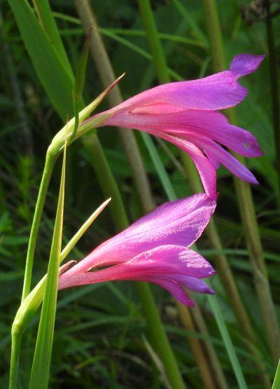 Vista de las flores del Gladiolus illyricus