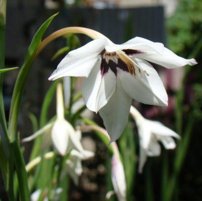 Vista del Gladiolus murielae