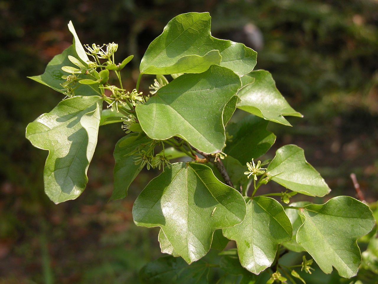 Vista de las hojas del Acer buergerianum
