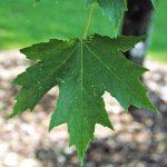 El Acer freemani es un árbol pequeño