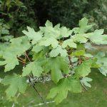Vista del Acer granatense