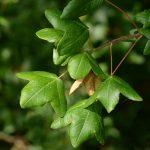 Vista del Acer monspessulanum