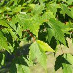 Hojas de Acer rubrum