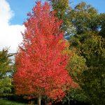 Vista del Acer rubrum