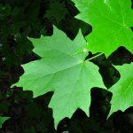 Vista de las hojas verdes del Acer saccharum