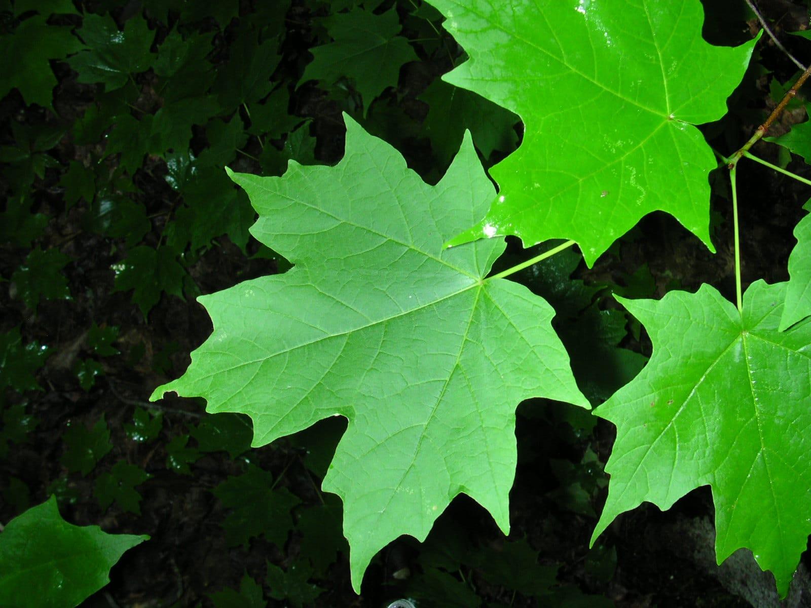Vista del Acer saccharum