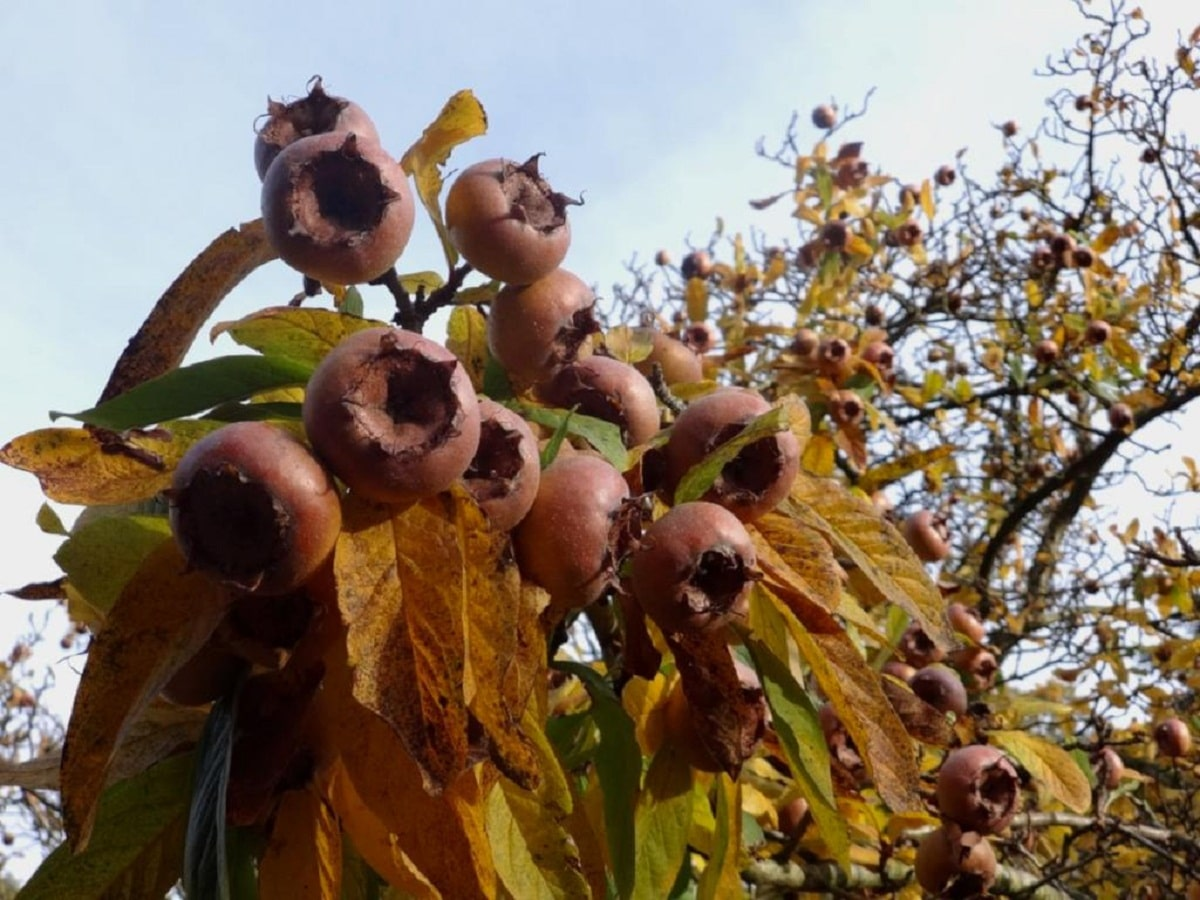 arbol frutal enfermo