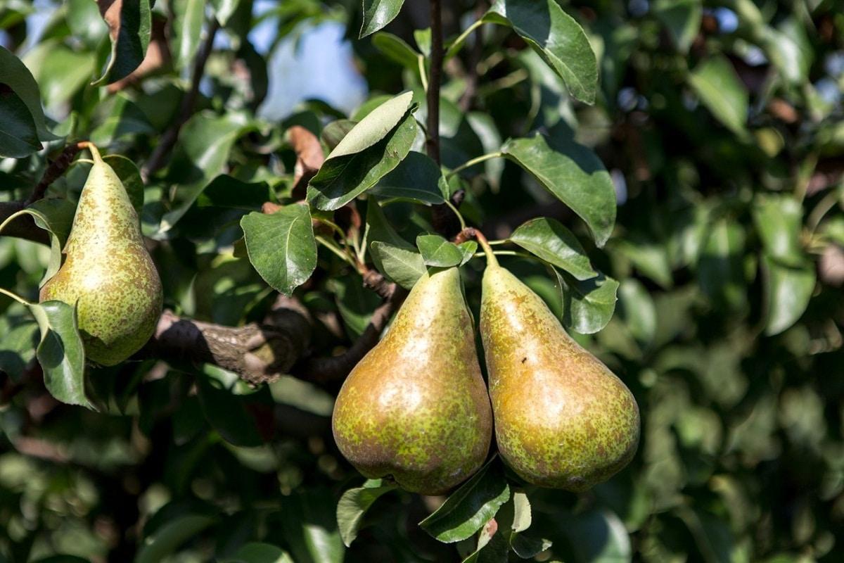 arbol frutal donde crece la pera limonera