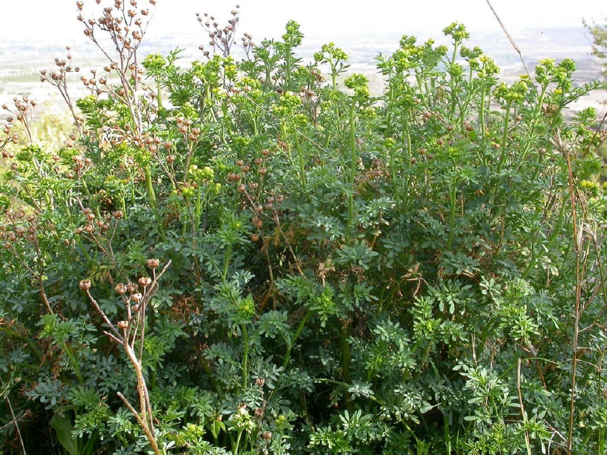 arbusto alto que crece en matorrales