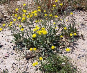 arbusto con flores amarillas en terreno seco