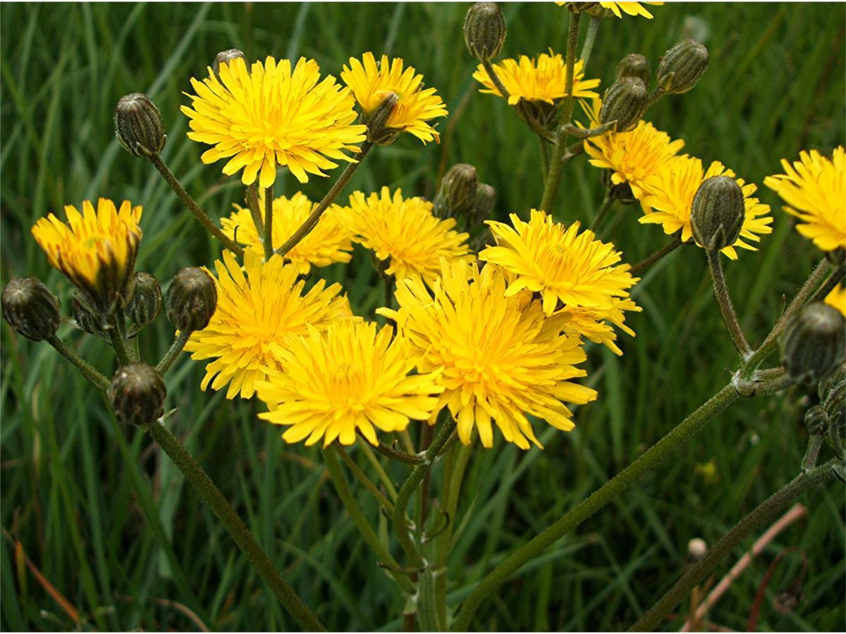 arbusto con flores amarillas llamado Falsa achicoria