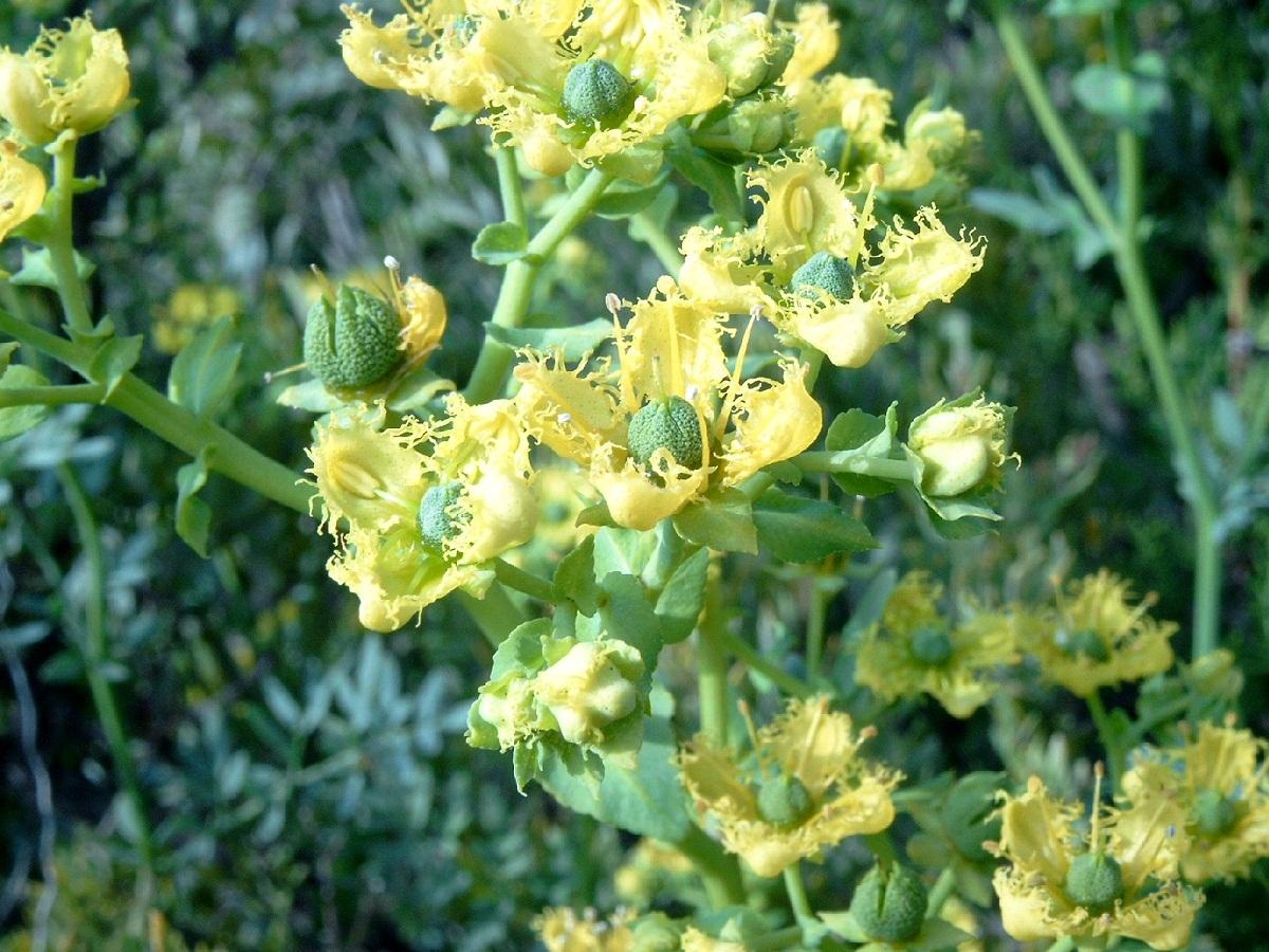 arbusto de Ruta Chalepensis con flores amarillas