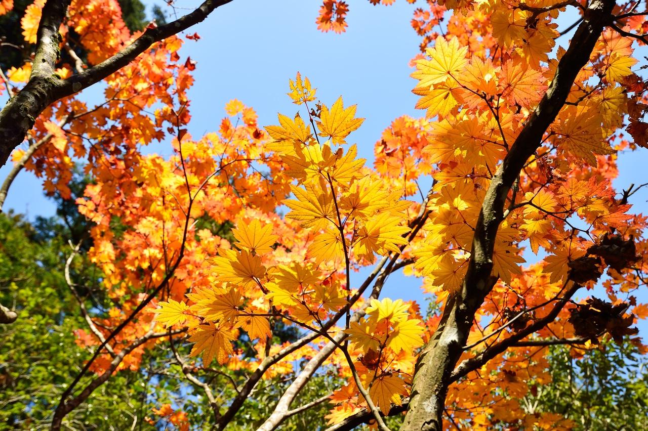 Los arces se ponen preciosos en otoño