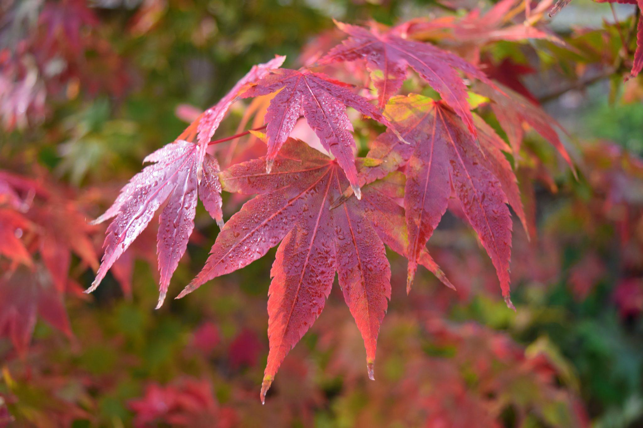 El arce japonés se vuelve rojo en otoño