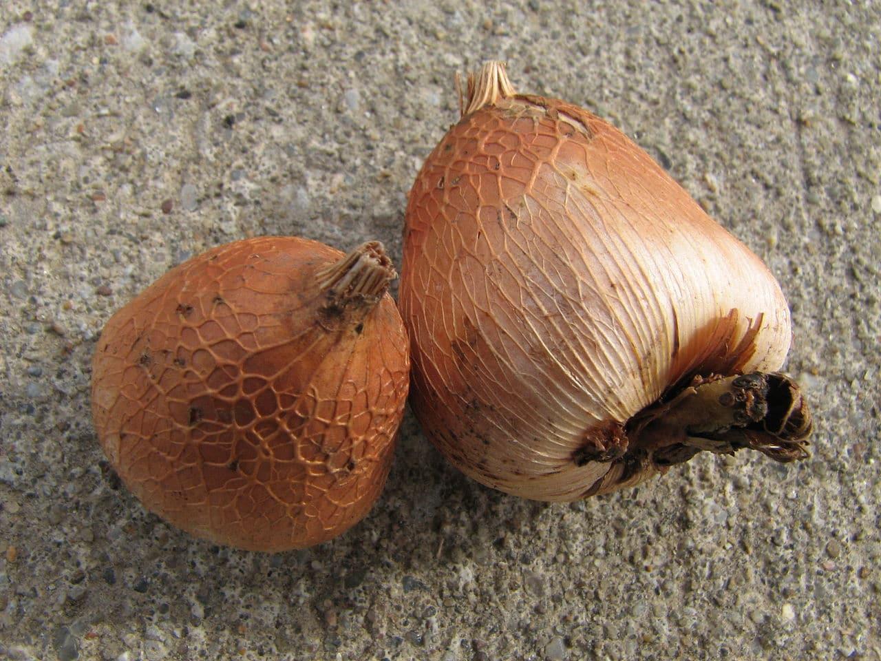 Los gladiolos se multiplican por semillas o bulbos