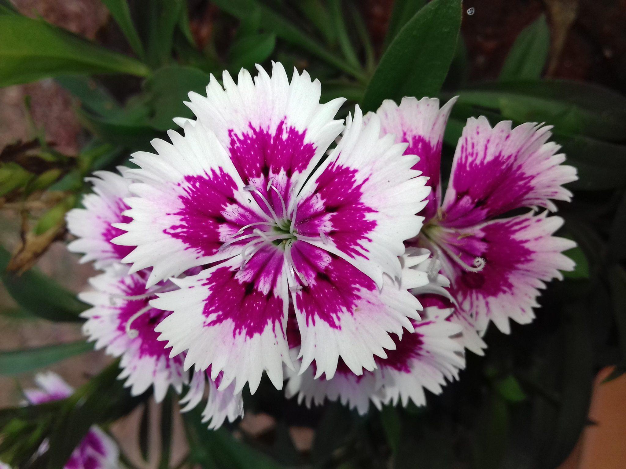 La clavelina es una flor