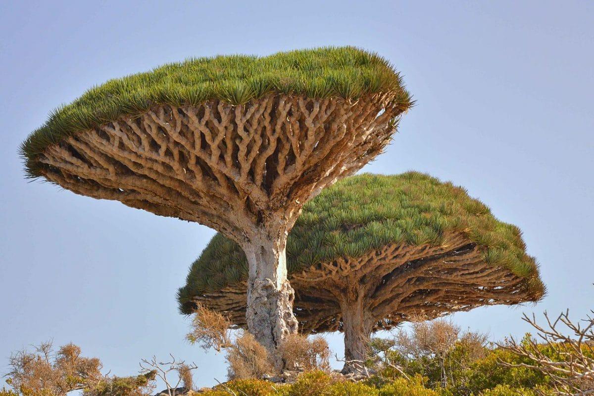 Dracaena cinnabari, una suculenta monocotiledónea