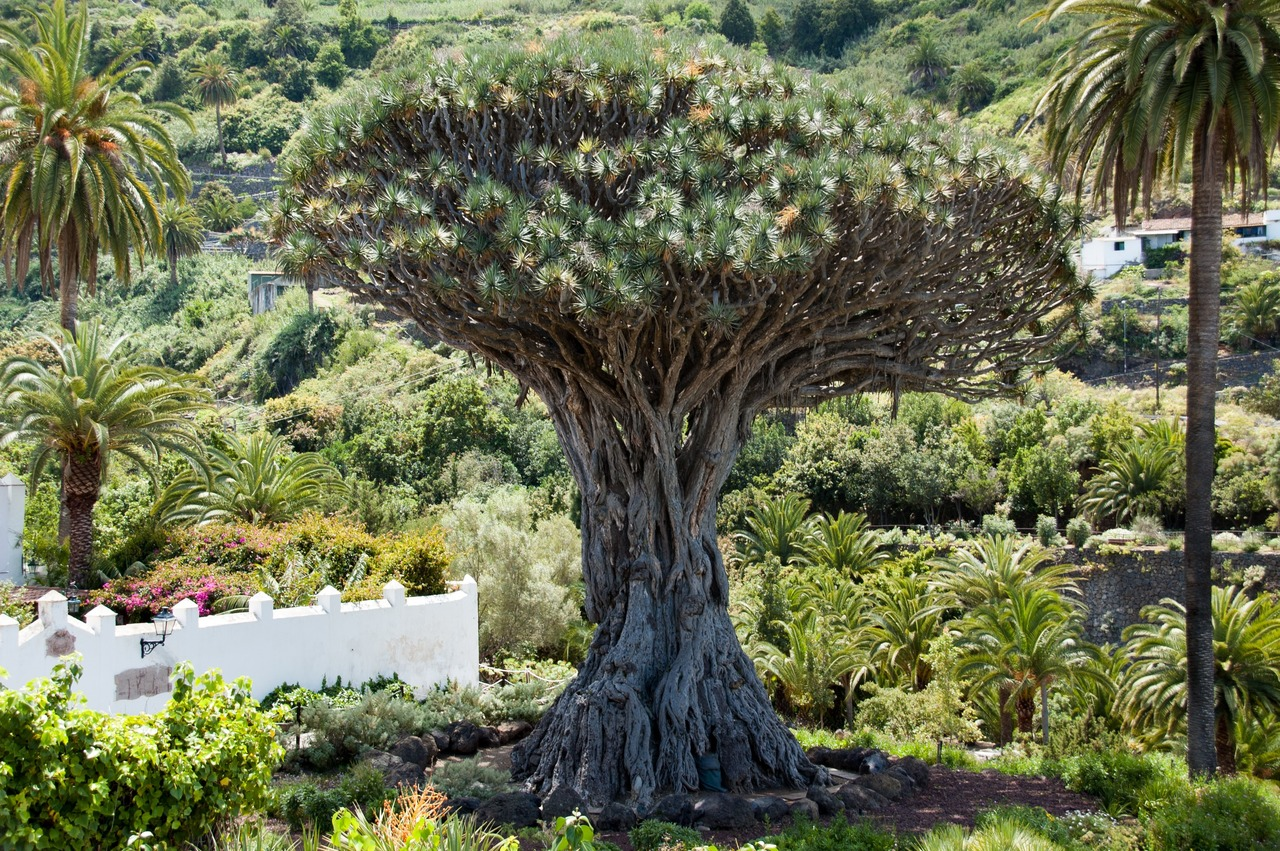 Vista del drago milenario de Canarias