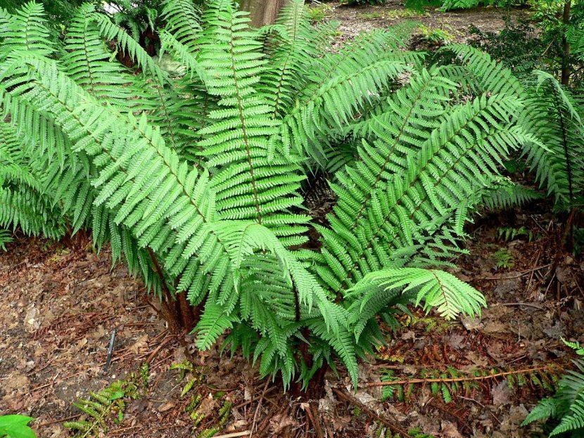Los Dryopteris son helechos tropicales de exterior