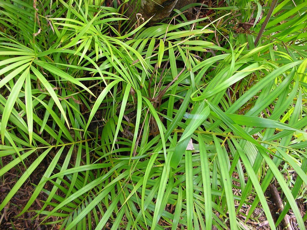 Vista de la palmera bambú