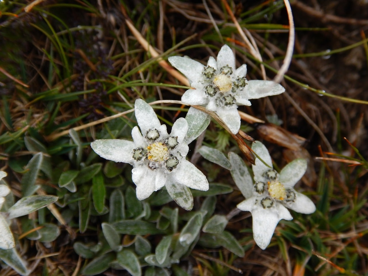Vista de la flor edelweiss