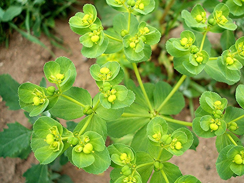 euphorbia helioscopia hojas