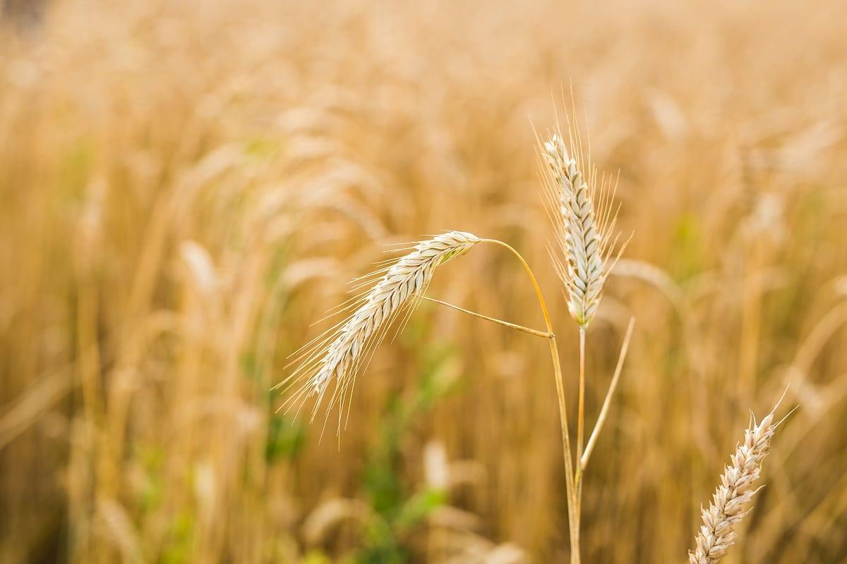 espigas del centeno o Secale Cereale