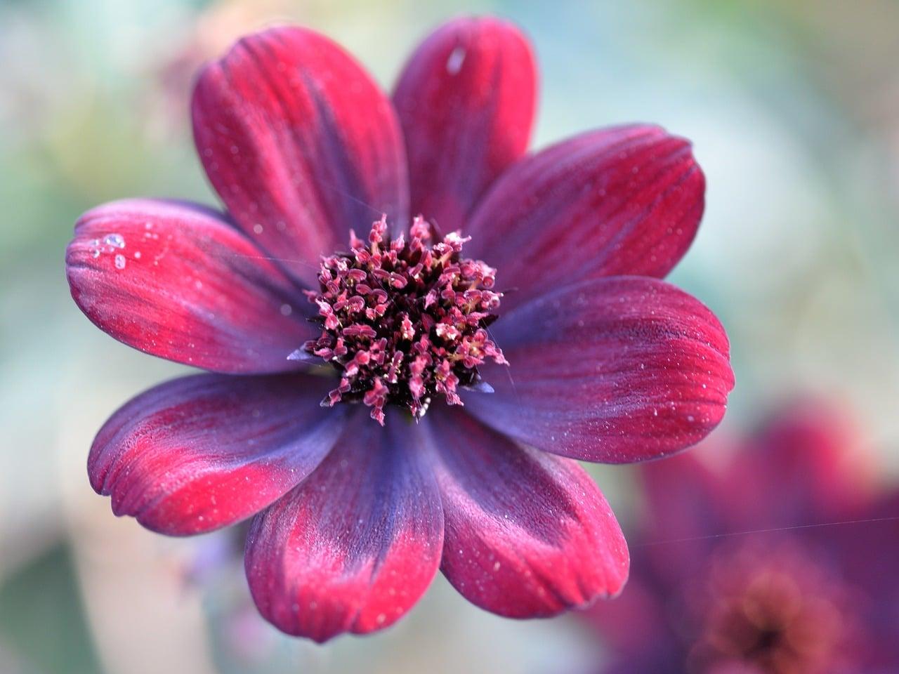 La flor de chocolate es roja