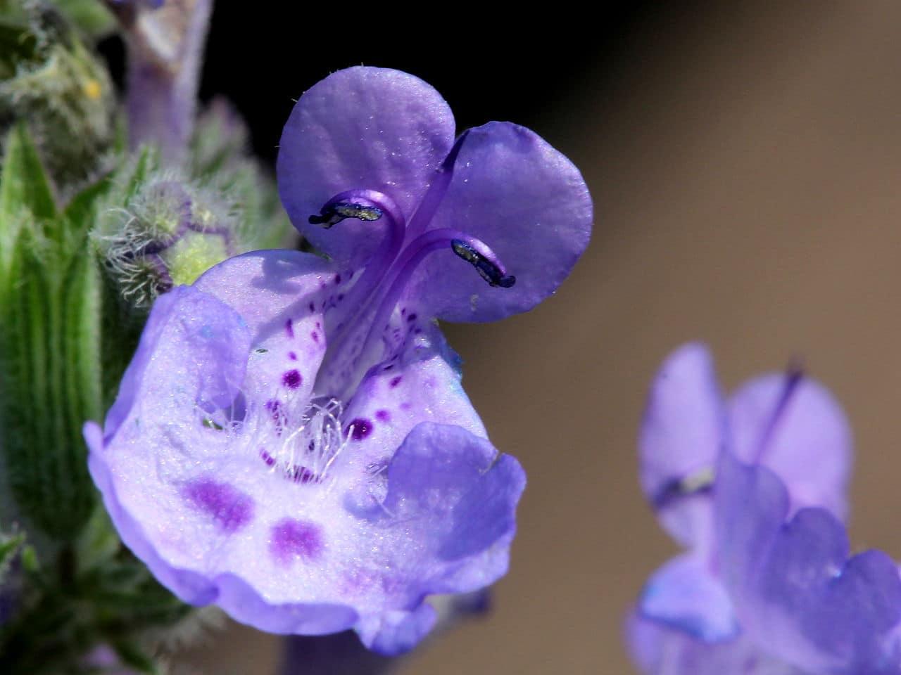 Las flores de la Nepeta cataria son lilas