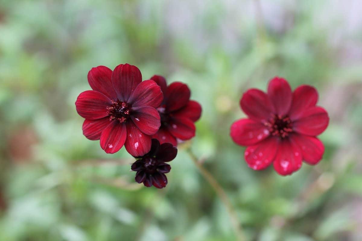 flores rojas llamadas flores de chocolate