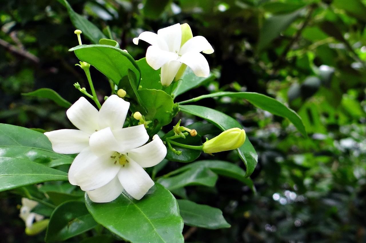 La gardenia es un arbusto perennifolio