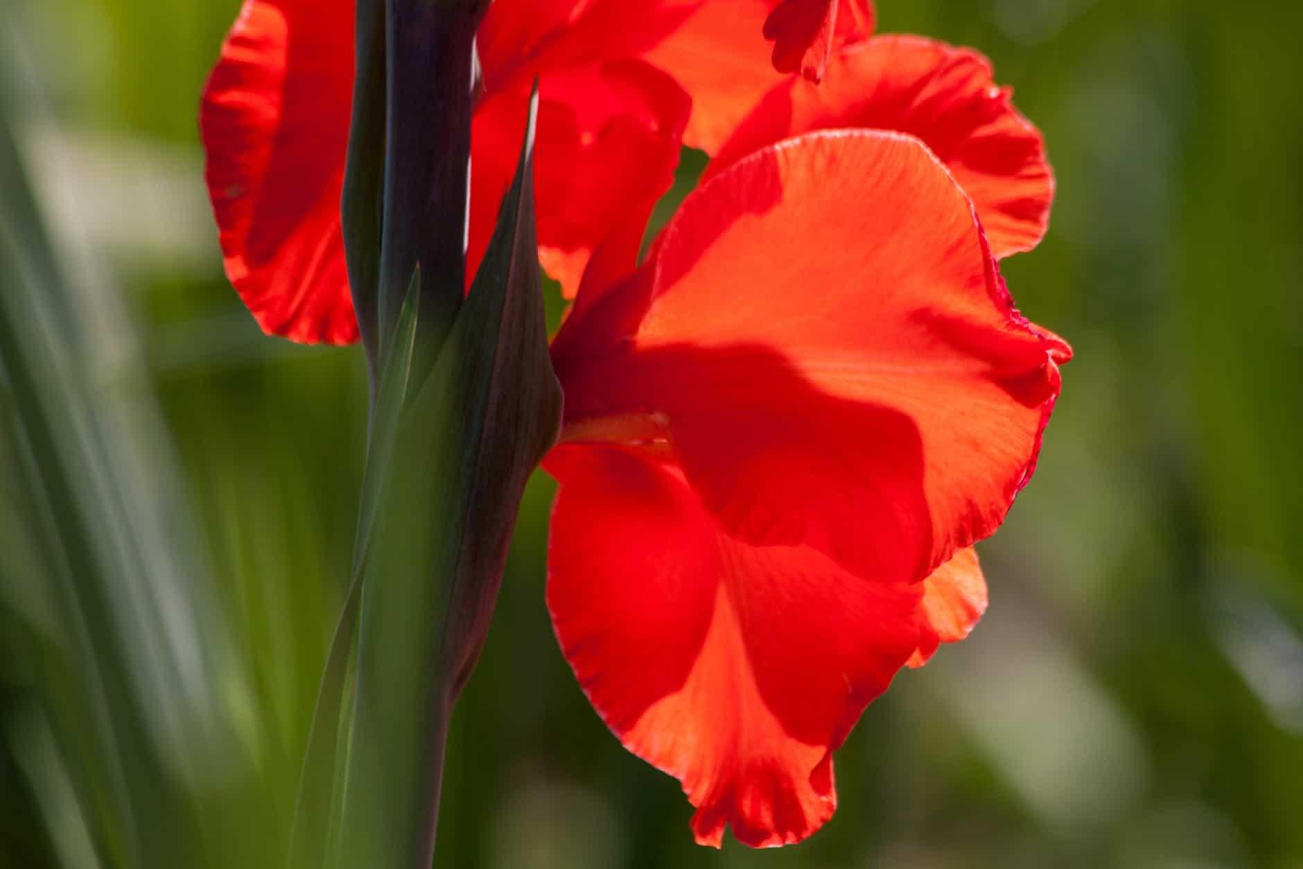 El gladiolo produce flores vistosas