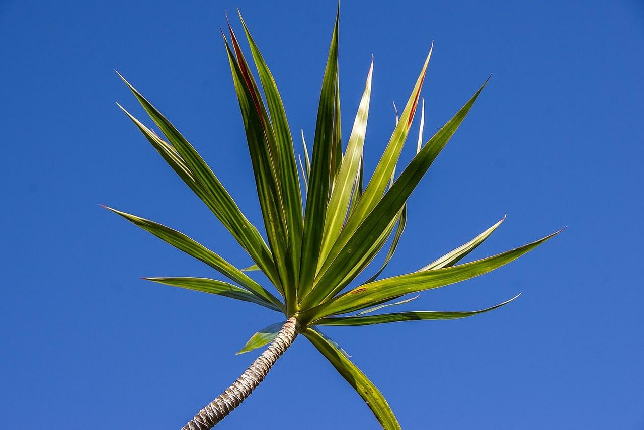 Las hojas de las dracena son perennes