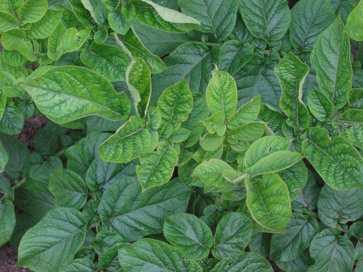 hojas de una plantacion de tabaco cualquiera