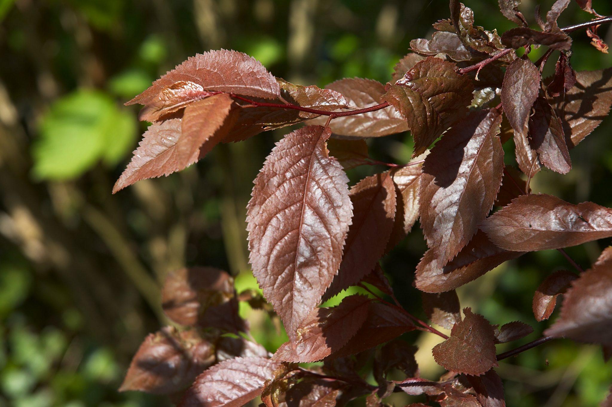 Prunus cerasifera 'Nigra', un árbol caducifolio