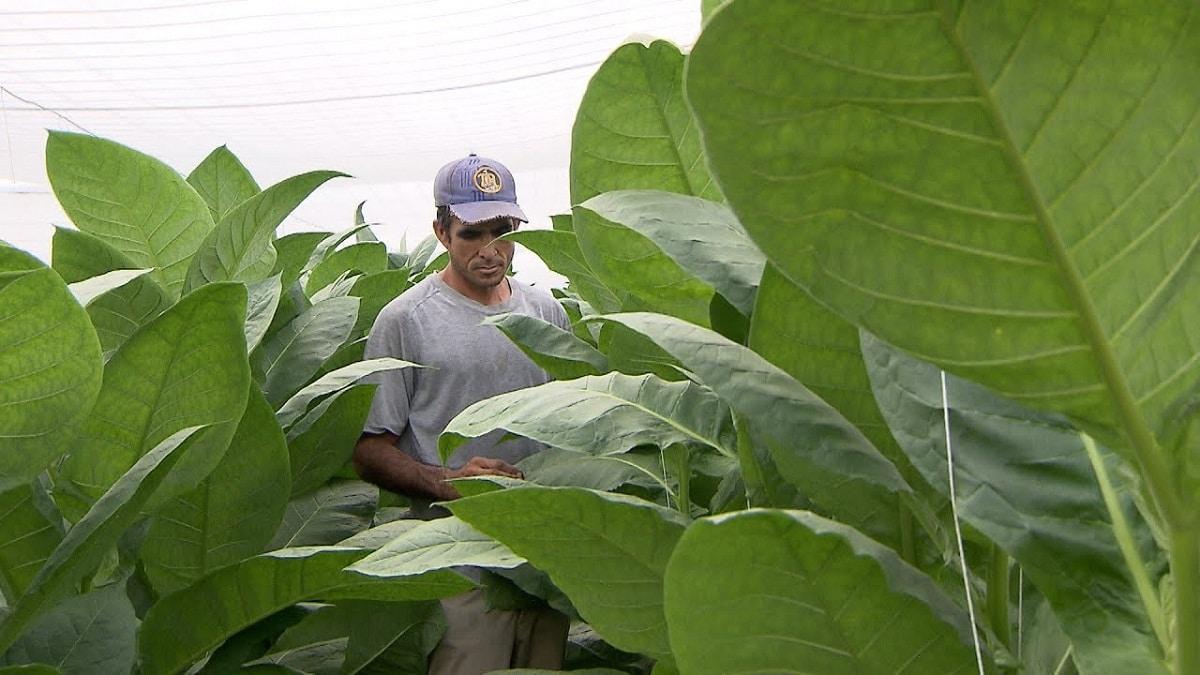 hombre dentro de plantacion de tabaco mirando las hojas