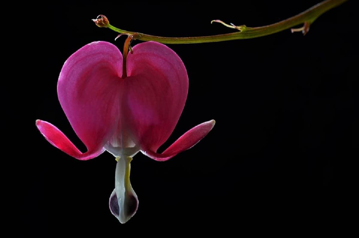 imagen de cerca flor rosa
