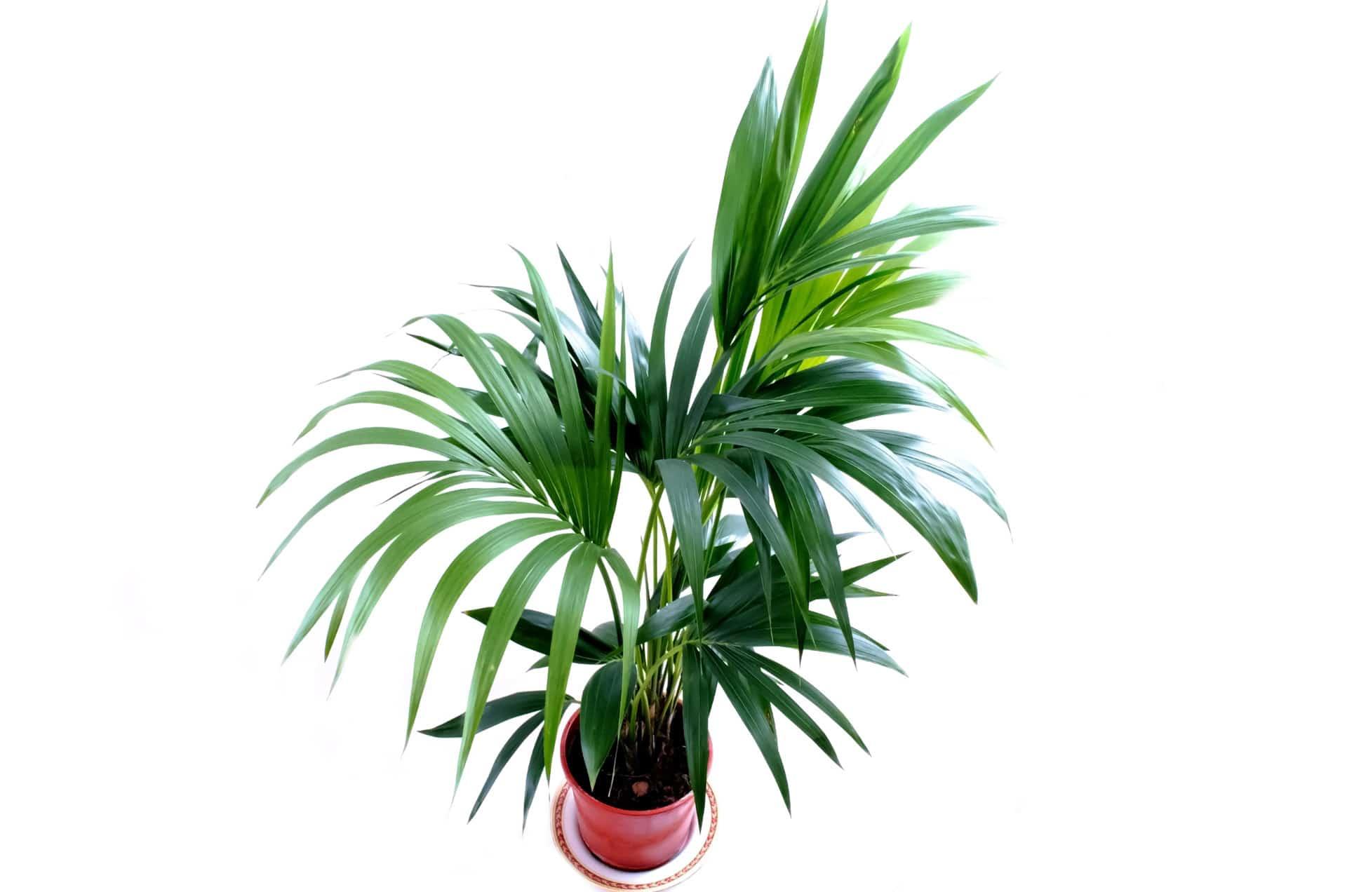La kentia es una palmera unicaule