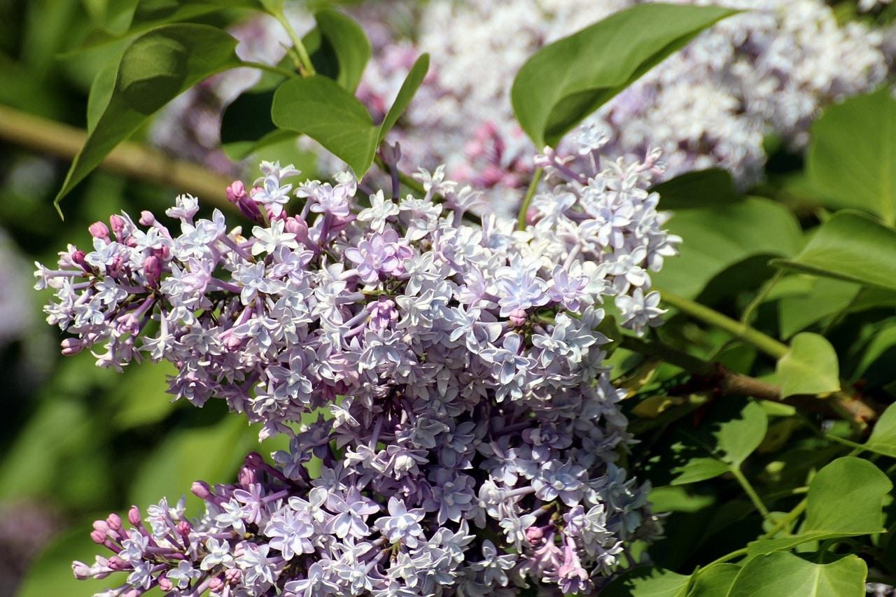 La lila es un arbolito caducifolio