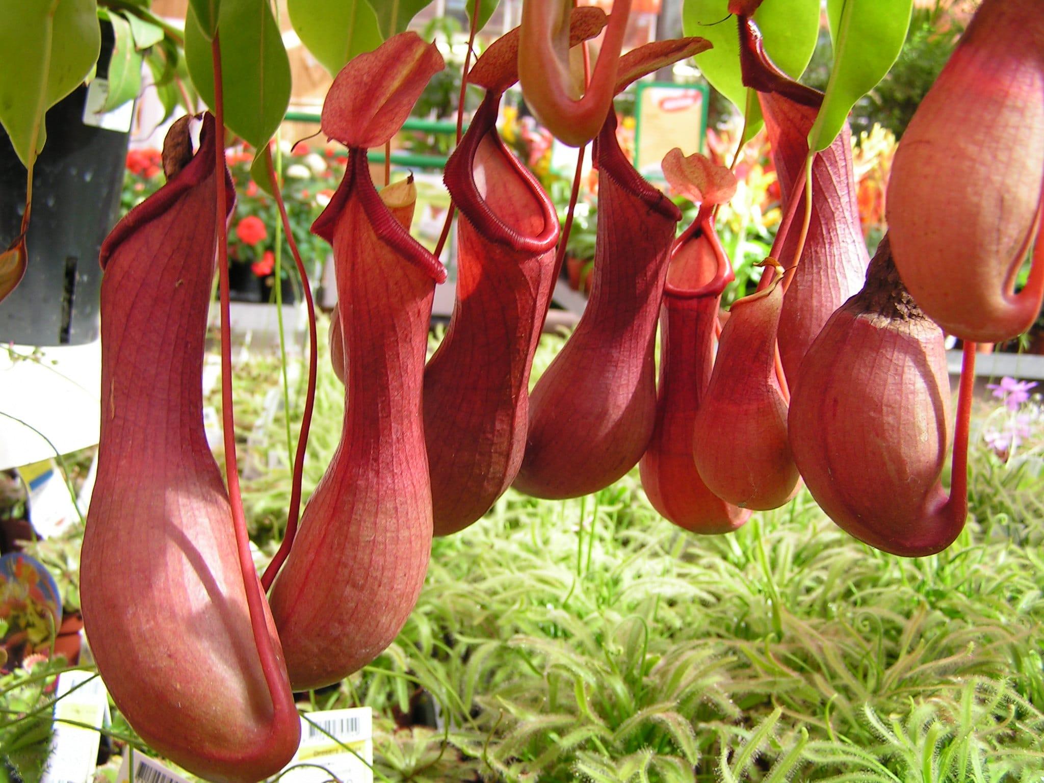 Las jarras de la Nepenthes alata son rojizas