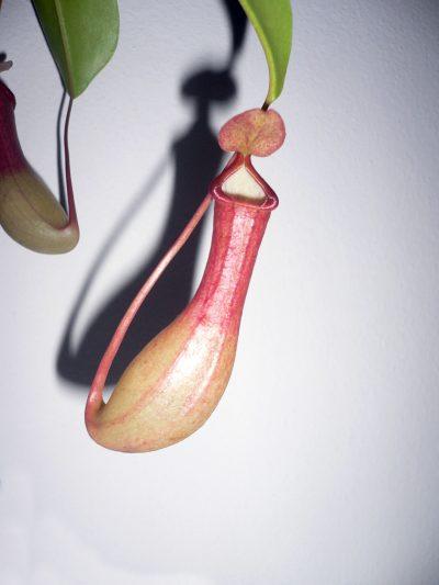 Las trampas de la Nepenthes alata son rojizas
