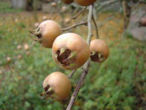 la fruta del nispero enferma