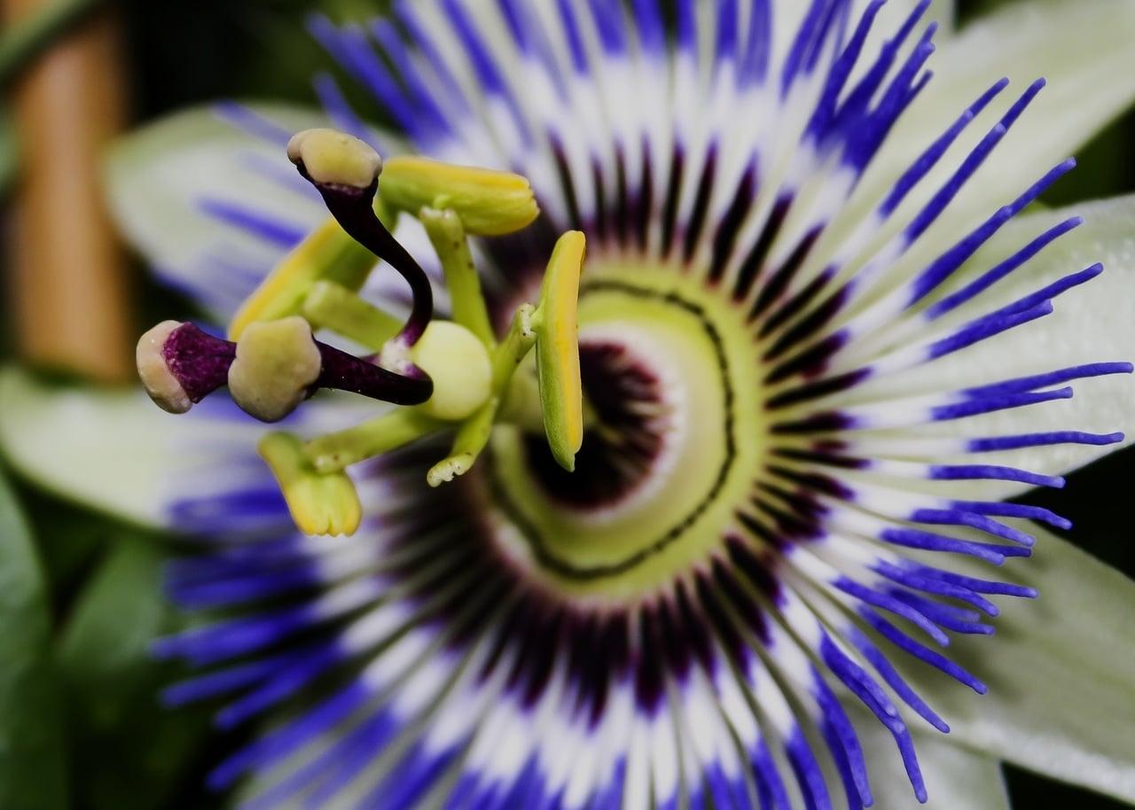 Vista de la passiflora