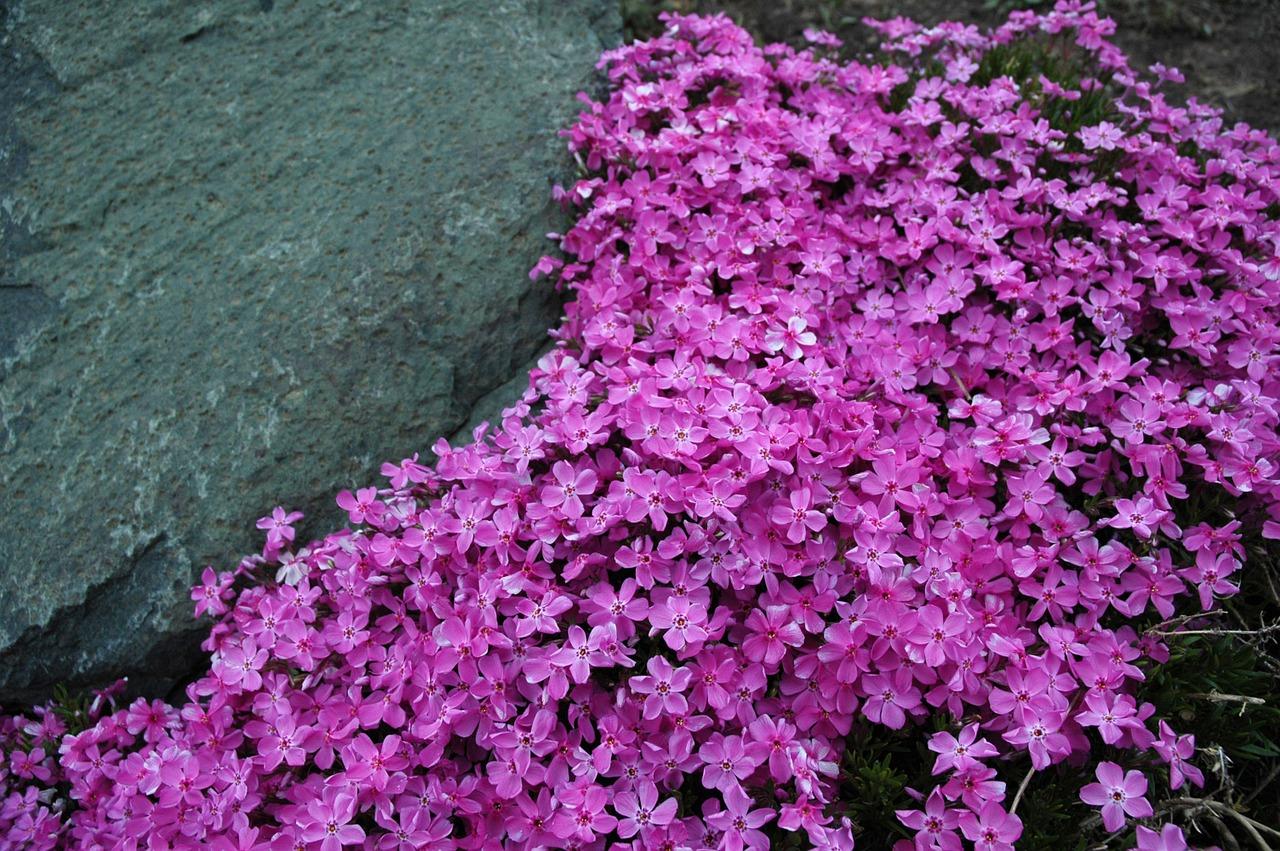 Los Phlox son flores muy vistosas